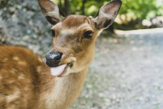 The fawn shows his tongue. - 3-Sterne-Superior Landhotel Karrenberg